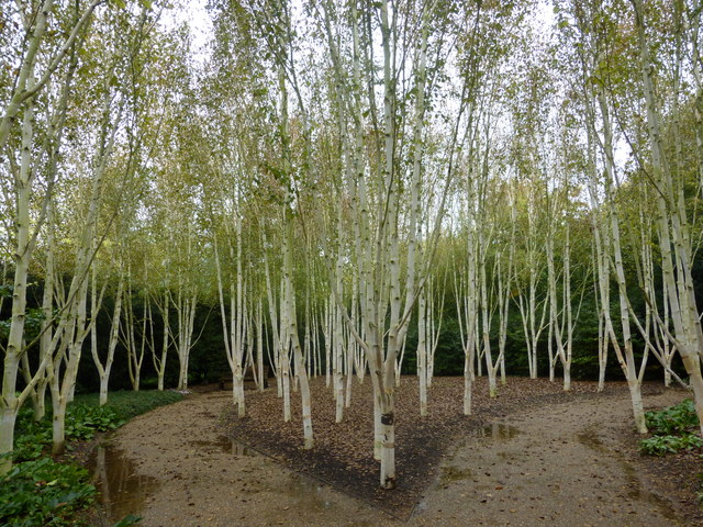Birch trees at Anglesey Abbey, Lode