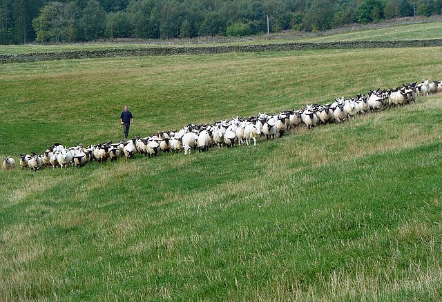 Herding sheep at Freer's Bridge