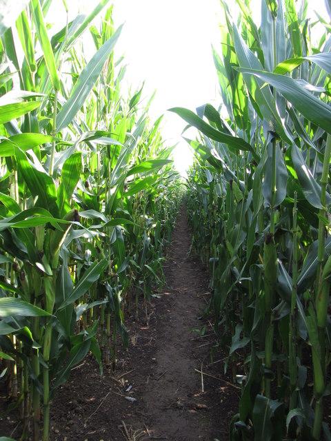 Path through the maize in Ashton Keynes