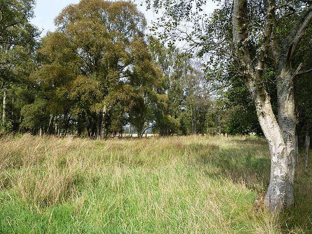 A birch wood near Caddonlee