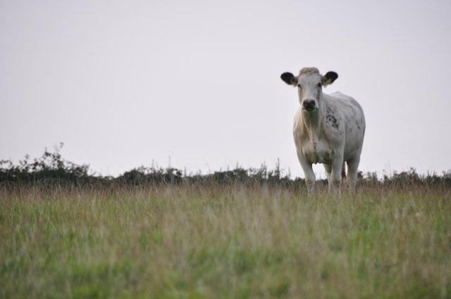 West Somerset : Grassy Field & Cow