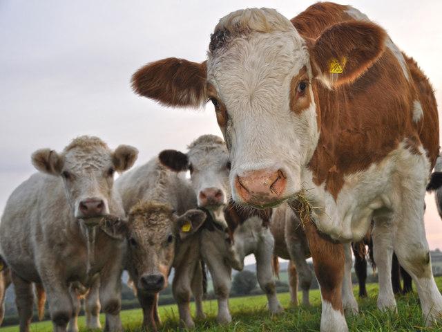 West Somerset : Cattle Grazing