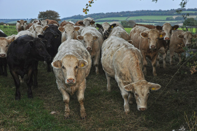 West Somerset : Cattle Grazing