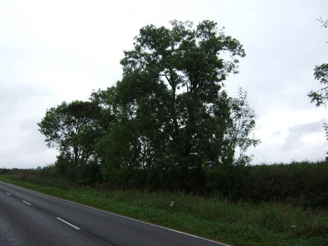 Trees beside North Moor Lane