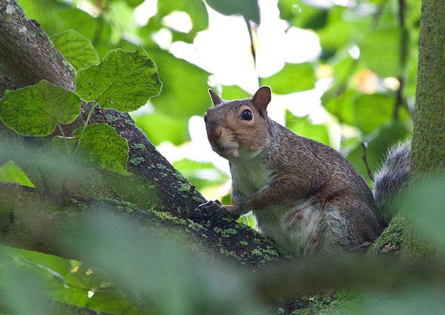 Well-fed Grey squirrel