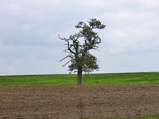 A lone oak