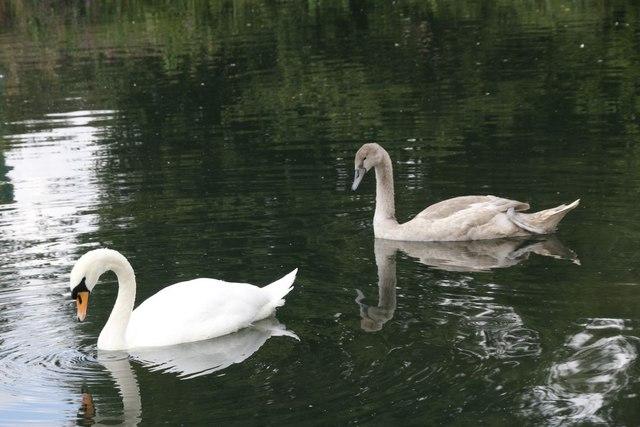 Swans together