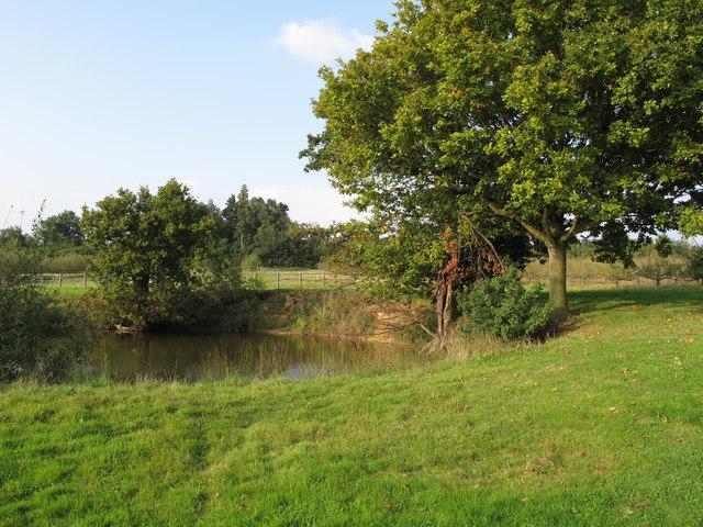 Oaks trees near pond, Whitehouse Farm, Wickham Bishops