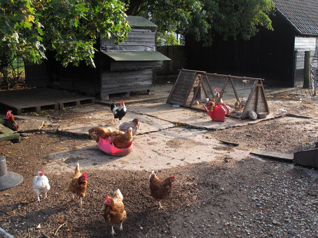 Chickens, Bouncers Farm, Wickham Bishops