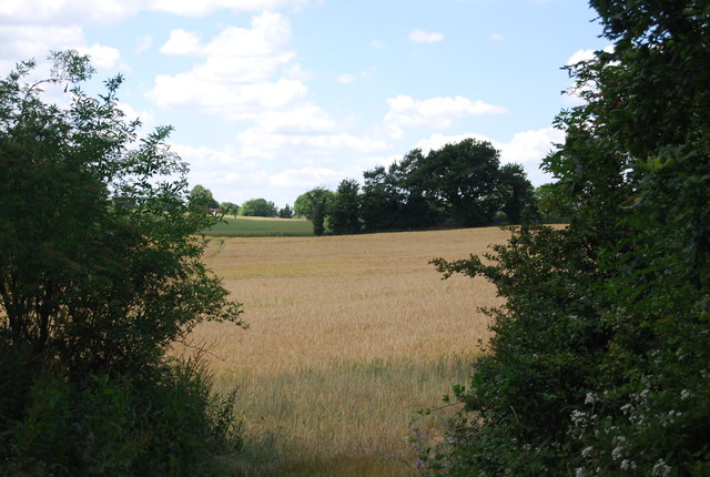 Wheat field, Pond Hall Farm