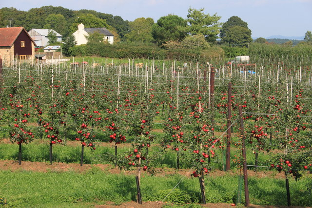 Bumper crop in a new orchard at Sargent's farm
