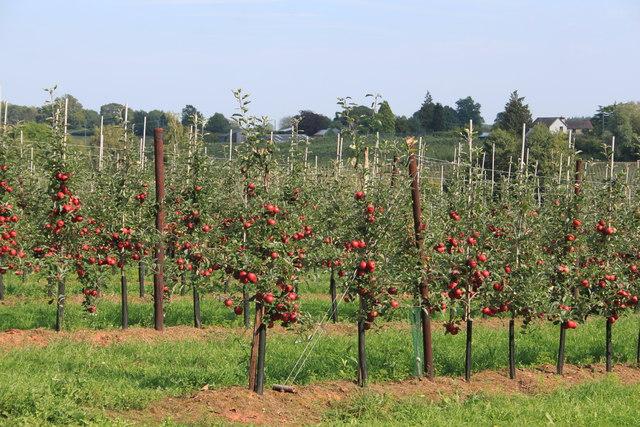 The bumper apple crop of 2014!