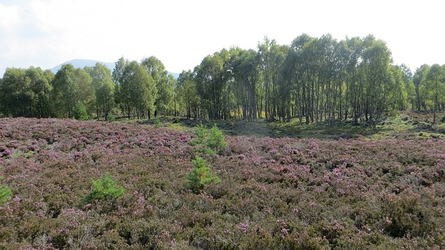 Birchwood near Kinchurdy