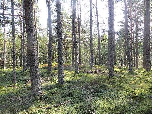 Pine forest near Boat of Garten