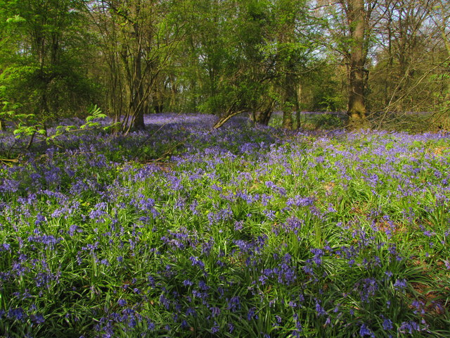 Bluebells in Ashfield Wood