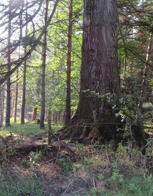 Pine woods, Grantown