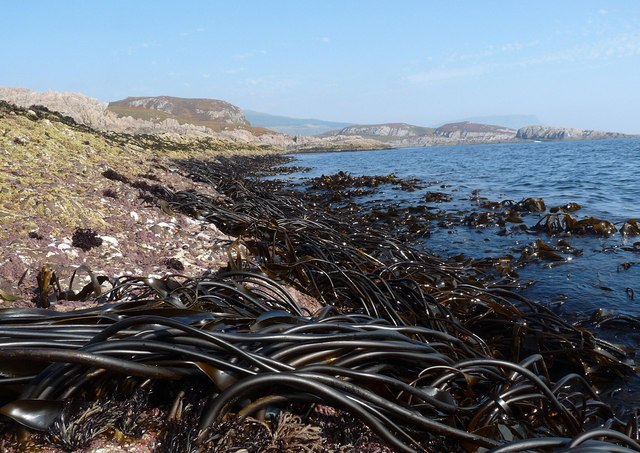 Kelp on the shoreline of the Ross of Mull, Isle of Mull
