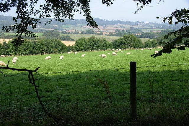 Sheep by Hecks Wood