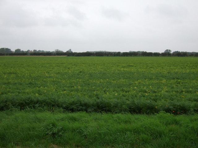 Crop field west of North Moor Road
