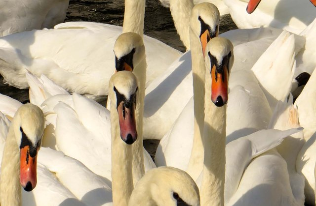 Swans on the Thames