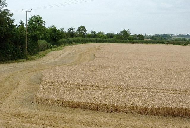 Wheat field east of Wilmcote, Warwickshire