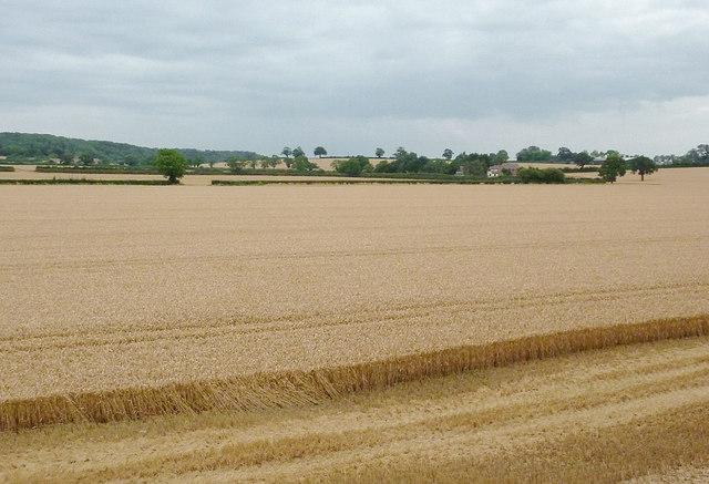 Wheat fields east of Wilmcote, Warwickshire