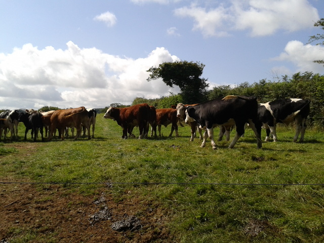 Cows in a field at Rostigan