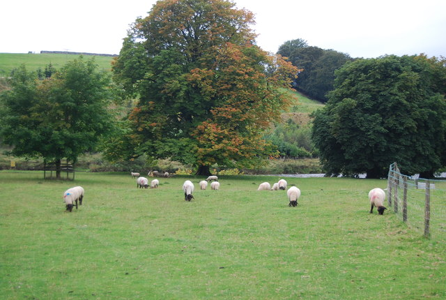 Sheep grazing by the River Wharfe