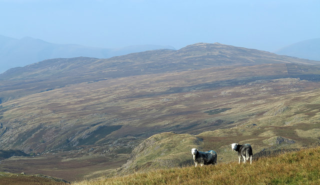 Herdwicks on slope below Coldbarrow Fell