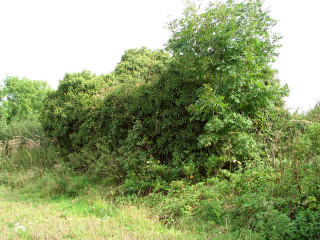 Field boundary hedge