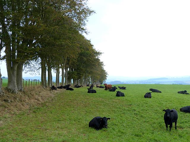 Field of bullocks