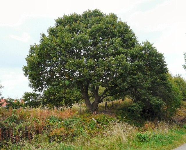 Oak Tree at Foxholes