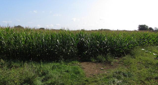 Field of maize at Happy Land, Ashton Keynes