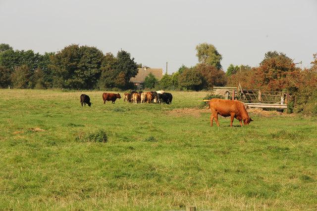Theddlethorpe cattle