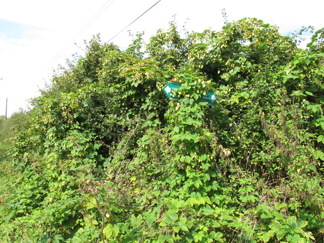 Public bridleway sign obscured by hops