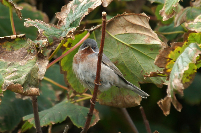 Eastern Subalpine Warbler (Sylvia cantillans), Baltasound