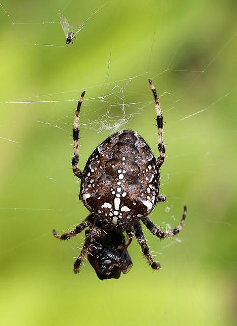 A garden spider with prey