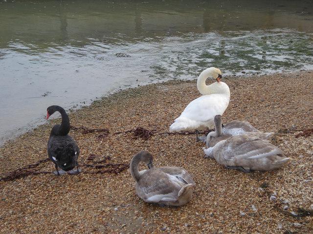Swans in Hillmead Harbour, Stubbington, Hampshire