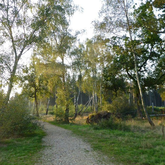 Birches in Great Pen Wood