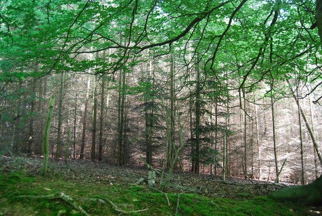Conifers, Park Plantation
