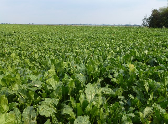 Sugar beet crop at the end of Stowgate