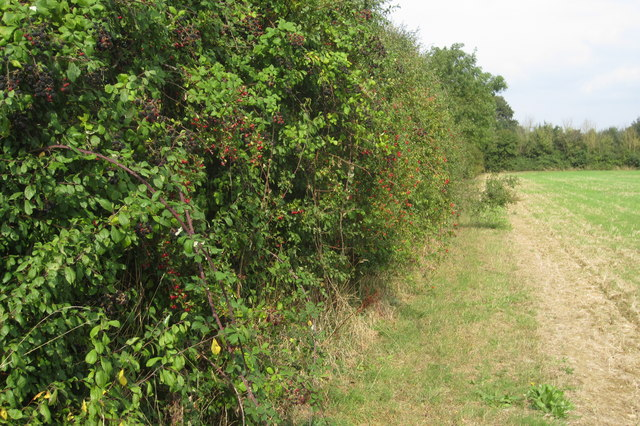 Fruity hedge by Renhold Road