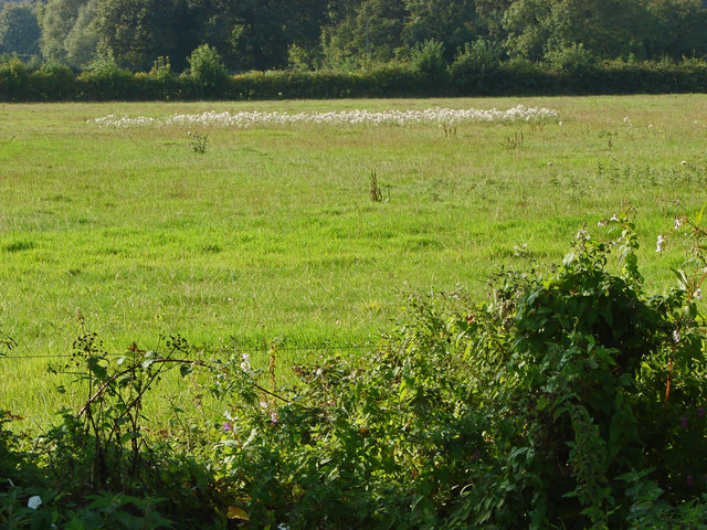 Cottongrass patch