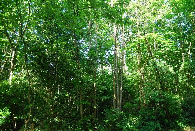 Redleaf Wood