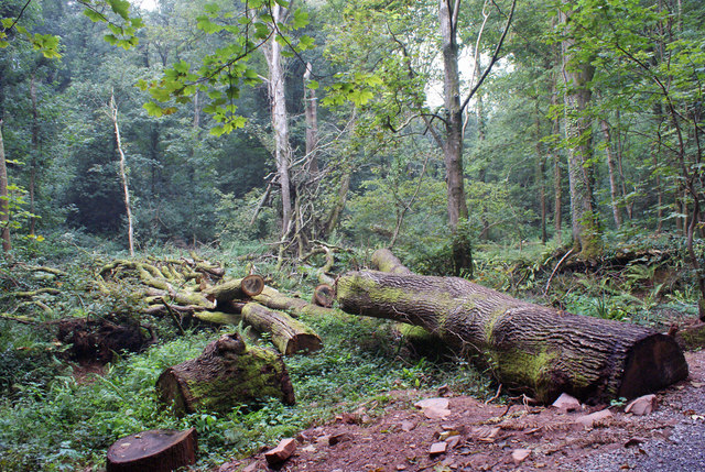 Fallen tree in Ten Acre Brake