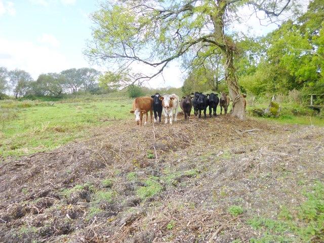 Hale, cattle grazing