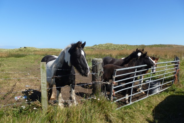 Ponies at Cresswell Pond