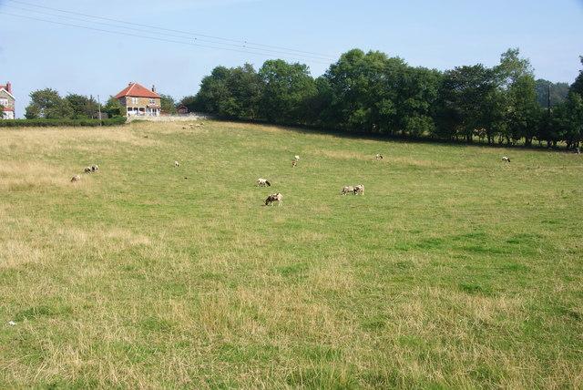 Jacob sheep near Sleights