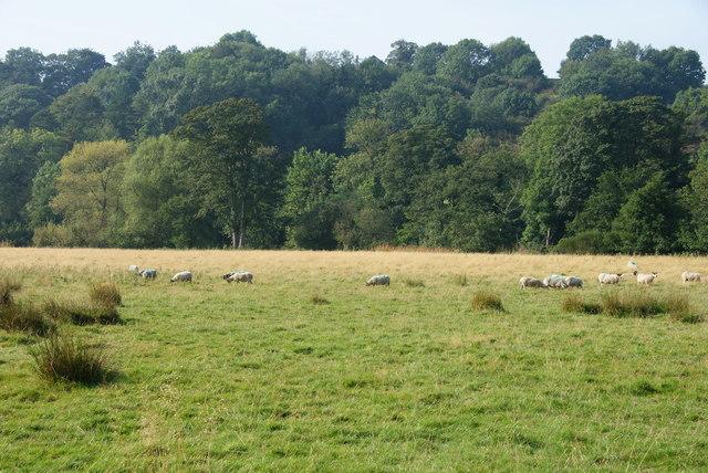 Sheep in Eskdale