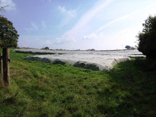 Field of kale growing under plastic, next to Bickingcott crossroads